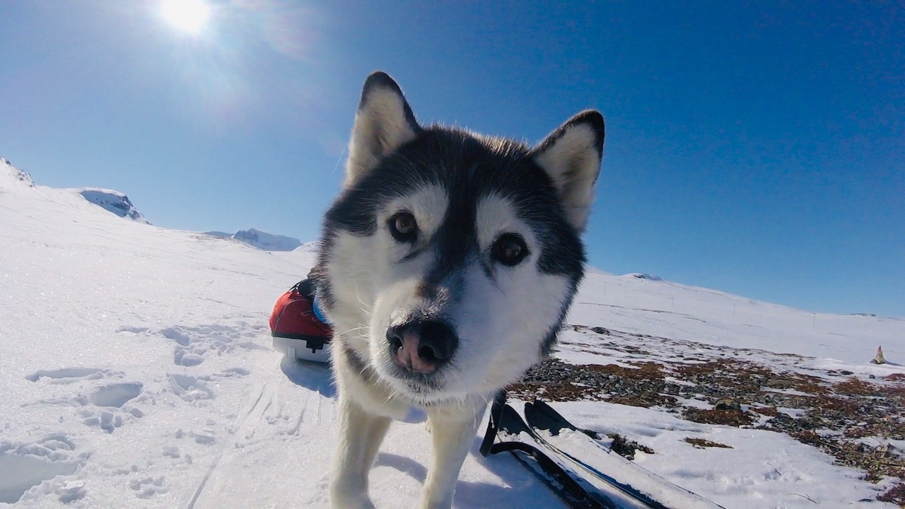 På tur med hundspann i Lappland 2020